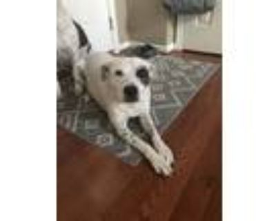 Adopt Momo a White - with Black Dalmatian / American Pit Bull Terrier / Mixed