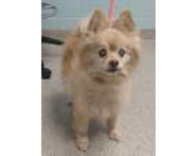 Adopt Ricko a Tan/Yellow/Fawn Pomeranian / Mixed dog in Noblesville