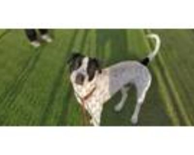 Adopt DAMON a White - with Black Pointer / Staffordshire Bull Terrier / Mixed