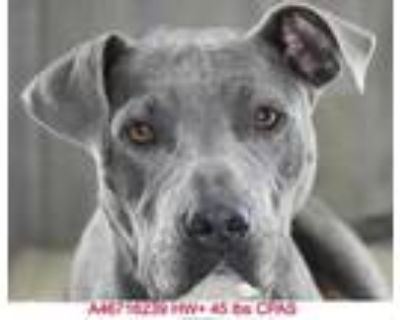 Adopt Halo a Gray/Blue/Silver/Salt & Pepper American Pit Bull Terrier / Mixed