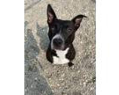 Adopt MICKEY a Pit Bull Terrier, Mixed Breed