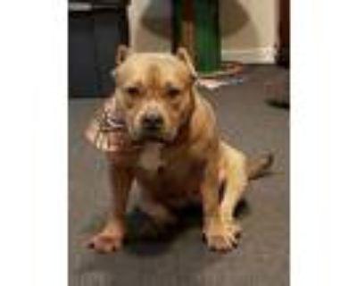 Karmel, American Pit Bull Terrier For Adoption In Parker Ford, Pennsylvania