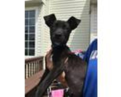 Adopt Zuma a Black - with White Labrador Retriever / Mixed dog in Collingswood