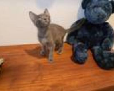 Adopt Goose a Gray, Blue or Silver Tabby Domestic Shorthair / Mixed (short coat)
