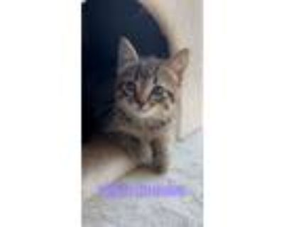 Adopt Prince Charming a Brown Tabby Domestic Shorthair (short coat) cat in