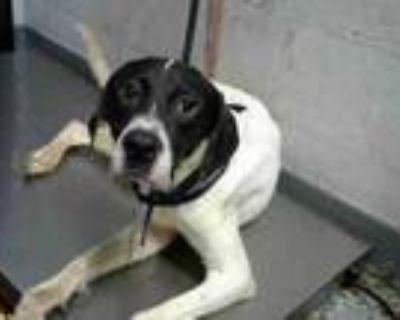 Adopt PEPPER a Labrador Retriever, Collie