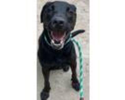 Adopt Apollo a Mixed Breed (Large) / Labrador Retriever / Mixed dog in