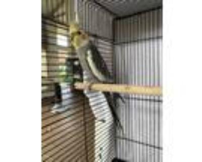 Adopt Banana a Yellow Cockatiel / Mixed bird in Honolulu, HI (32038584)