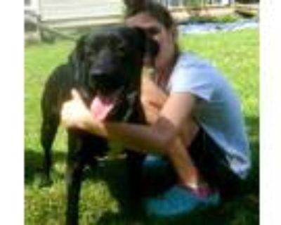 Adopt Mattie a Black Labrador Retriever / Mixed dog in Walpole, MA (32005146)