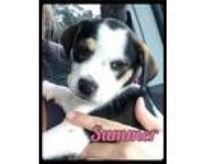 Adopt Summer - Foster / 2021 a Black - with White Beagle / Rat Terrier / Mixed