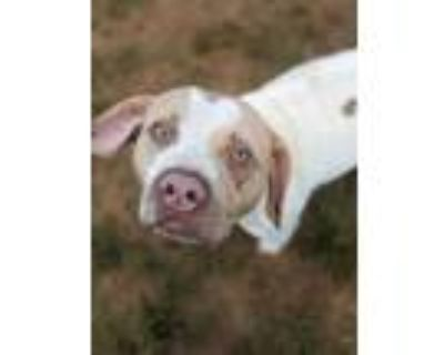 Adopt Jiffy* a White Pointer / Mixed dog in Anderson, SC (31262778)