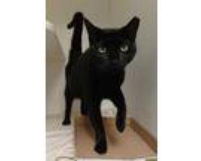 Adopt MORTISHA a All Black Domestic Shorthair / Mixed (short coat) cat in