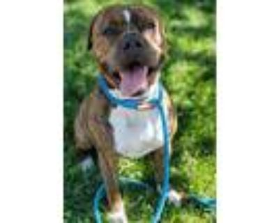 Adopt *DUDERS a Brown/Chocolate American Pit Bull Terrier / Mixed dog in San