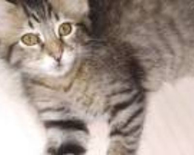 Adopt Wonton a Gray, Blue or Silver Tabby Domestic Shorthair / Mixed cat in