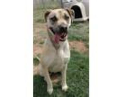 Adopt Aria a Tan/Yellow/Fawn - with Black Catahoula Leopard Dog / Mixed dog in