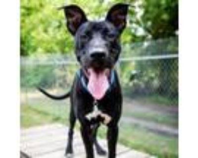 Adopt 21-049 Camry a Black Labrador Retriever