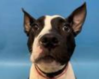Adopt Patti a Pit Bull Terrier, Mixed Breed