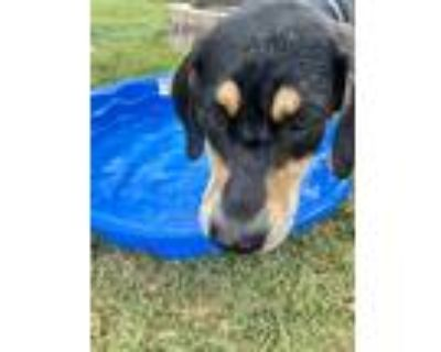 Adopt Henry a Black - with Tan, Yellow or Fawn Black and Tan Coonhound / Beagle
