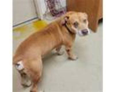 Adopt LAMBERT a Tan/Yellow/Fawn - with White American Pit Bull Terrier / Mixed