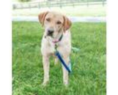 Adopt Helena a Tan/Yellow/Fawn Labrador Retriever / Mixed dog in Fairfax
