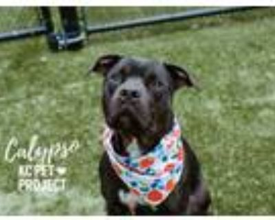 Adopt Calypso a Black American Pit Bull Terrier / Mixed dog in Kansas City