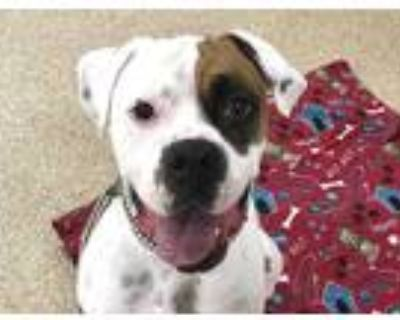 Adopt TOBY a White - with Brown or Chocolate Boxer / Mixed dog in Albuquerque