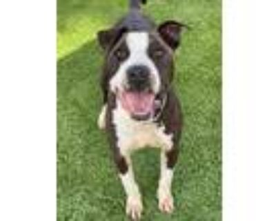 Adopt KODA a Black - with White American Pit Bull Terrier / Mixed dog in Downey