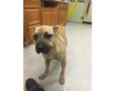 Adopt NORA a Tan/Yellow/Fawn Mastiff / American Pit Bull Terrier / Mixed dog in