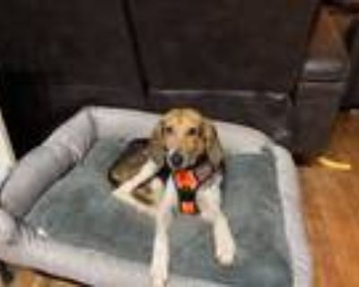 Adopt Lucy a Tricolor (Tan/Brown & Black & White) Hound (Unknown Type) / Mixed