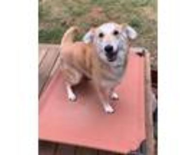 Adopt Lily a Tan/Yellow/Fawn - with White Labrador Retriever / Mixed dog in