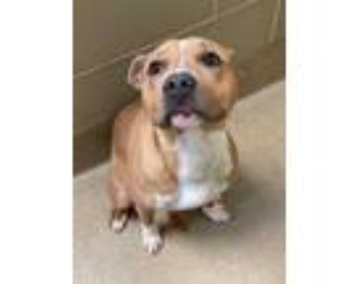 Adopt Bob Marley a Tan/Yellow/Fawn American Pit Bull Terrier / Mixed dog in
