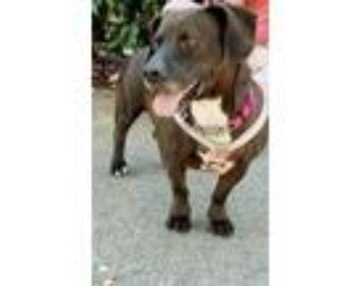 Adopt Loxy a Basset Hound, Labrador Retriever