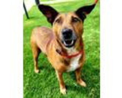 Adopt Conner 86-21 a German Pinscher, Mixed Breed