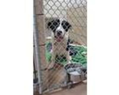 Adopt Phil a Border Collie, Mixed Breed