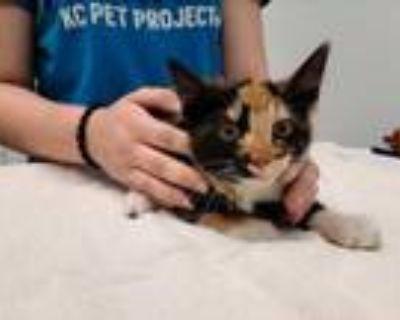 Adopt 48046685 a All Black Domestic Shorthair / Domestic Shorthair / Mixed cat