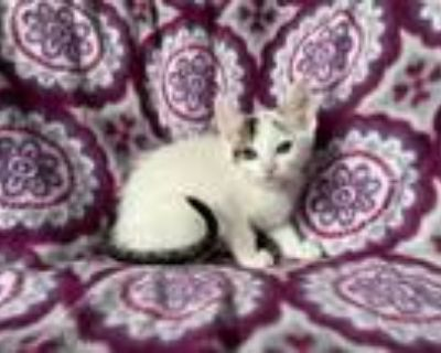 Adopt Cottontail a White (Mostly) Domestic Shorthair (short coat) cat in