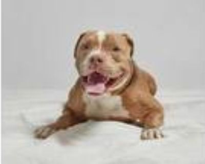 Adopt Arnie a Tan/Yellow/Fawn American Pit Bull Terrier / Mixed dog in Palm