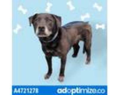 Adopt THORIN a Black Labrador Retriever / Mixed dog in Gardena, CA (31507357)