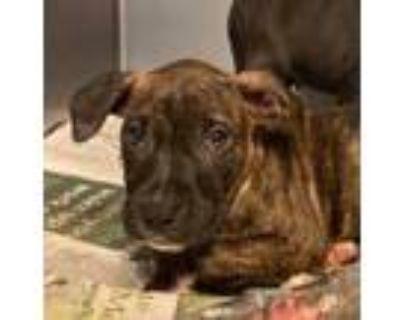 Adopt Yen a Boxer, Labrador Retriever