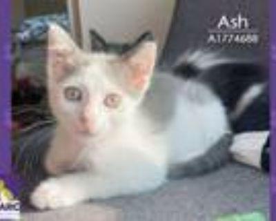 Adopt ASH a Domestic Short Hair