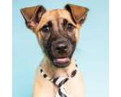 Adopt Kent Alaska a German Shepherd Dog, Akita
