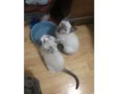 Adopt Akira & Magnus ~ Brother and Sister a Siamese, Snowshoe