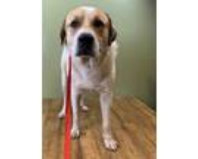 Adopt Rex a Great Pyrenees, Mixed Breed