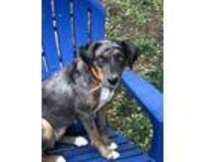 Adopt Isabel a Brown/Chocolate Catahoula Leopard Dog / Mixed dog in Bigfoot