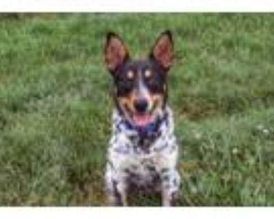 Adopt Short Stack a Australian Cattle Dog / Blue Heeler