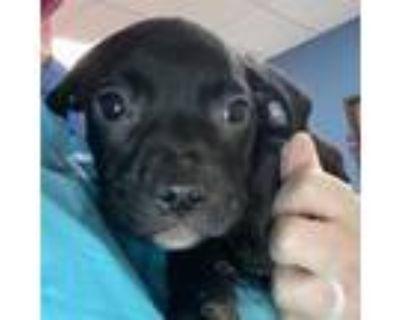 Adopt Penny a Boxer, Labrador Retriever