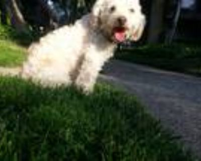 Adopt Lucas a White - with Tan, Yellow or Fawn Poodle (Standard) / Mixed dog in