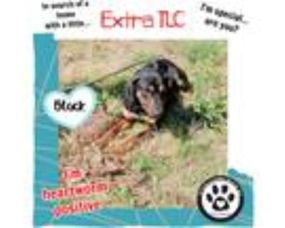Adopt Black 5/1/21 a Black - with Tan, Yellow or Fawn Shepherd (Unknown Type) /