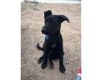Adopt Stills a Black Shepherd (Unknown Type) / Labrador Retriever / Mixed dog in