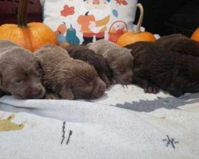 English Labrador Retriever Puppies